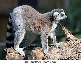 (Lemur catta - Ring-tailed Lemur (Lemur catta)