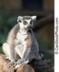 Ring-tailed Lemur Lemur catta