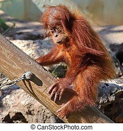 baby orangutan - cute baby orangutan in the zoo