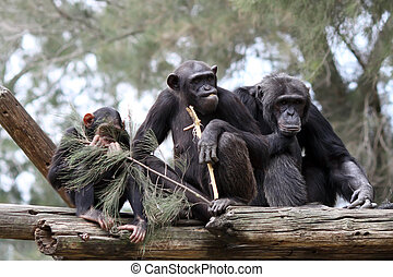 monkey family - chimpanzee family in zoo