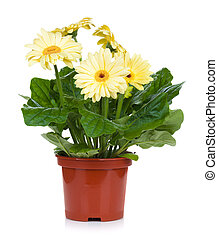 Gerbera in flowerpot. Isolated on white background