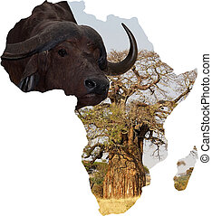 African buffalo Syincerus caffer and african map with baobab...
