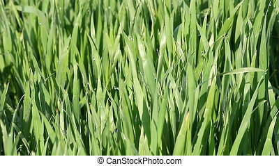 green wheat with dew drops