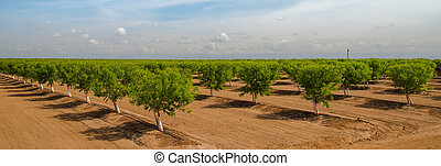 Peach trees growing in the spring - rows of young peach...