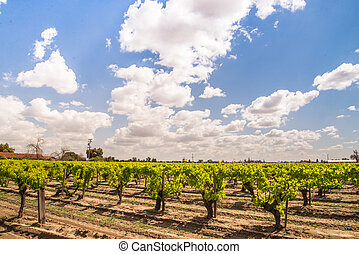 rows of grapevines with big sky - rows of grapevines growing...