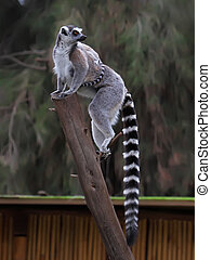 ring-tailed lemur with her cute baby