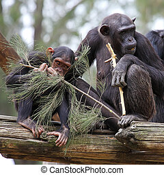 chimpanzee group
