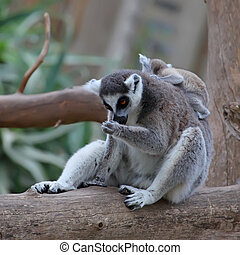 close-up of a ring-tailed lemur with her cute baby