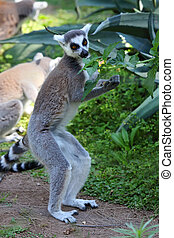 Ringtailed lemur Lemur catta eating leaves