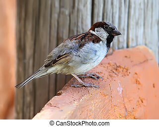 Male House Sparrow