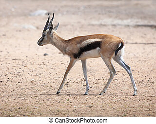 Young Thompsons Gazelle in Ramat Gan Park, Israel