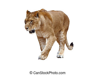 Lioness on white background