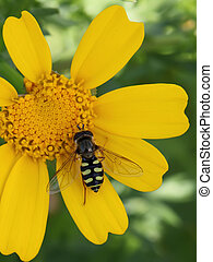 wasp of the garden on a yellow wild flower