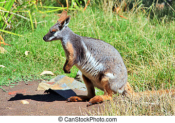 Yellow-Footed, Rock-Wallaby, longo, verde, capim, nativo,...