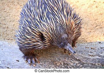 australiano,  Echidna,  -,  animal, nativo