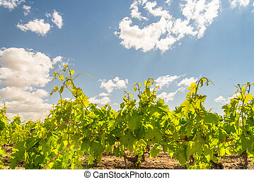 tops of grape vines with blue sky - close up of grapevines...