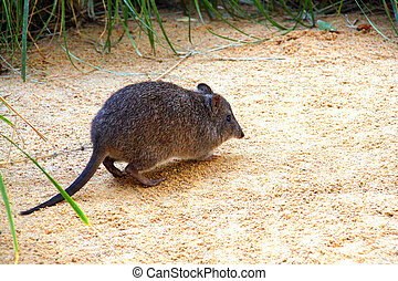 Long-Nosed Potoroo, also known as Rat-Kangaroo. Native...