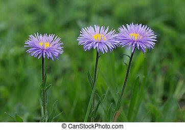 Flowers Aster alpinus - Three flowers Aster alpinus in lush...