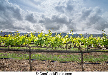 close up of wine grape vine clouds - grapevines growing in...