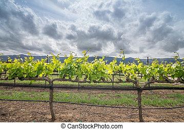 Zamknięcie, Do góry, Wino, winogrono, Winorośl,...