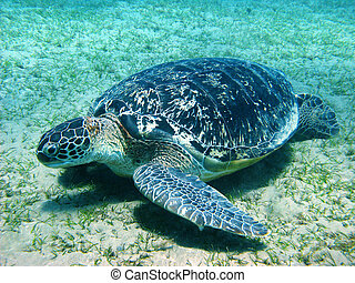 Big sea turtle - Sea turtle in Red sea, Abu Dabab