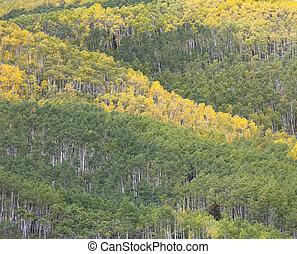 Aspen Grove in Early Autumn