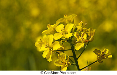colza flower - yellow flower of a colza photographed by a...