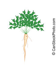 Fresh Green Parsley Root on White Background - Vegetable and...