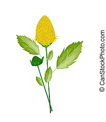 Fresh Paracress Plant on A White Background - Vegetable and...