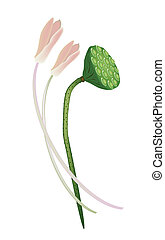 Lotus Flowers and Pod on White Background - Beautiful...