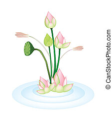 Lotus Flowers and Pod on A Water - Beautiful Flower, An...