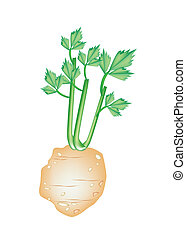 Fresh Green Celery Root on White Background - Vegetable and...