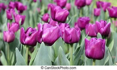 purple tulip flower garden spring