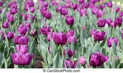 purple tulip flower nature