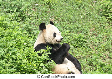 giant panda - close view of a giant panda
