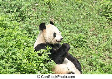 giant panda - close view of a giant panda