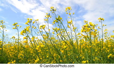 Rapeseed Flowers Blossoms of on the blue sky