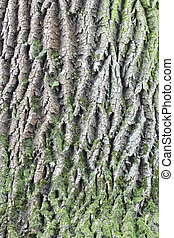 Old oak bark texture with green moss