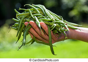 String beans - Fresh green string beans held in hand