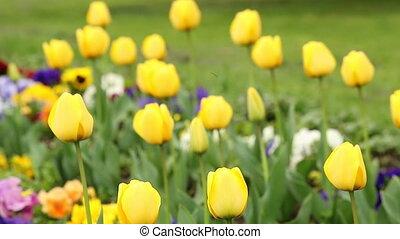 yellow tulip flower nature background