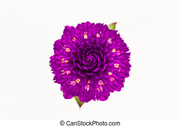Globe amaranth or Gomphrena globosa. - Globe amaranth or...