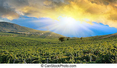 Sunrise over a grape field - Sunrise in mountains over a...