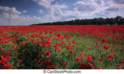 Poppies. Sliding away - Poppies. Huge field of blossoming...