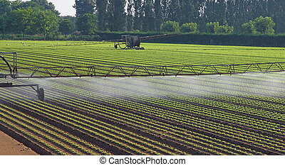 automatic irrigation system for a field of salad