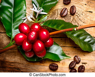 Coffee Plant Red coffee beans on a branch of coffee tree