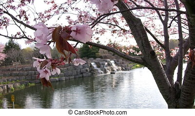 Cherry Blossoms and Waterfalls - Closeup of Cherry Blossoms...