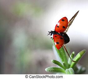 Ladybird Coccinella septempunctata taking off - Macro photo...