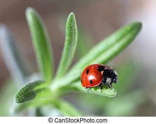 Ladybug on a lavender leaf - A seven-spot ladybird or...