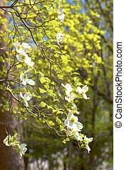 White flowering dogwood tree Cornus florida, Japan