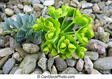 Myrtle Spurge or Creeping Spurge (Euphorbia myrsinites)